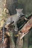 Leopard (Panthera pardus) adult, laying on branch of Yellow-barked Acacia, Lake Nakuru, Kenya Photographic Print by Martin Withers