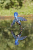 Common Kingfisher (Alcedo atthis) adult female, in flight, diving into pond, with reflection Photographic Print by Paul Sawer