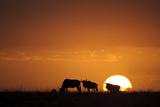 Blue Wildebeest (Connochaetus taurinus) herd, silhouetted on plain at sunrise, Masai Mara, Kenya Photographic Print by Shem Compion