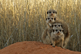 Meerkat (Suricata suricatta) four juveniles, Kuruman River Reserve Fotografisk tryk af Ben Sadd
