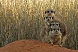 Meerkat (Suricata suricatta) four juveniles, Kuruman River Reserve Photographic Print by Ben Sadd