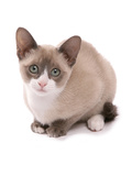 Domestic Cat, Snowshoe, kitten, sitting Photographic Print by Chris Brignell