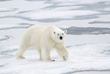 Polar Bear (Ursus maritimus) adult, walking on sea ice, Spitzbergen, Svalbard Photographic Print by Dickie Duckett