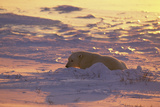 Polar Bear (Thalarctus maritimus) Lying in snow, sunrise Photographic Print by Terry Andrewartha