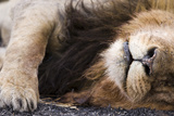 Massai Lion (Panthera leo nubica) adult male, sleeping, close-up of muzzle, mane and paw Photographic Print by Elliott Neep