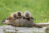 Woodchuck (Marmota monax) adult, carrying three young on back, Minnesota, USA Photographic Print by Jurgen & Christine Sohns