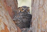 Great Horned Owl (Bubo virginianus) adult, sitting on nest in fork of tree, Florida, USA Photographic Print by Kevin Elsby
