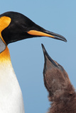 King Penguin (Aptenodytes patagonicus patagonicus) nominate subspecies, South Georgia Photographic Print by James Lowen