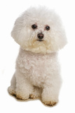 Domestic Dog, Bichon Frise, adult, sitting Photographic Print by Chris Brignell