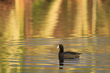 American Coot (Fulica americana) adult, swimming at dawn, Florida, USA Photographic Print by Edward Myles
