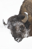 North American Bison (Bison bison) adult, close-up of head, in snow, Yellowstone Photographic Print by Paul Hobson