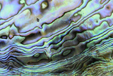 Paua (Haliotis iris) interior layer of shell, close-up of iridescent nacre or mother of pearl Photographic Print by Malcolm Schuyl