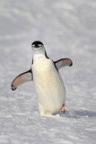 Chinstrap Penguin (Pygoscelis antarctica) adult, walking on snow, Brown Bluff, Antarctic Peninsula Photographic Print by Jurgen & Christine Sohns