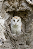 Barn Owl (Tyto alba) adult, perched in tree hollow, Suffolk, England Photographic Print by Paul Sawer