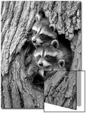 Common Raccoon (Procyon lotor) three young, at den entrance in tree trunk, Minnesota, USA Print by Jurgen & Christine Sohns