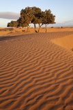 View of desert sand dunes with trees, Sahara, Morocco, may Photographic Print by Bernd Rohrschneider