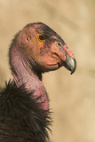 California Condor (Gymnogyps californianus) adult, close-up of head, Arizona, USA Photographic Print by David Tipling