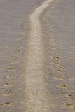 Grey Seal (Halichoerus grypus) tracks in sand, Donna Nook, Lincolnshire, England Reprodukcja zdjęcia autor Dave Pressland