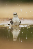 Northern Mockingbird (Mimus polyglottos) adult, bathing in pool, South Texas, USA Photographic Print by Bill Coster