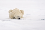 Polar Bear (Ursus maritimus) adult, sleeping on snow, Murchisonfjorden, Svalbard Photographic Print by Jules Cox