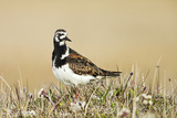 Ruddy Turnstone (Arenaria interpres) adult male, breeding plumage, standing on tundra, near Barrow Photographic Print by Ignacio Yufera