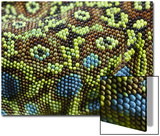 Fabio Pupin - Ocellated Lizard (Timon lepidus) adult, close-up of skin texture, Italy, june Reprodukce