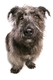 Domestic Dog, Glen of Imaal Terrier, adult, sitting Photographic Print by Chris Brignell
