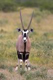 Gemsbok - botswana Fotografisk tryk af David Hosking