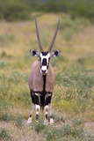 Gemsbok - botswana Photographic Print by David Hosking