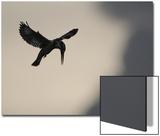 Pied Kingfisher (Ceryle rudis) adult, in flight, hovering at dusk, Kwando Poster av Shem Compion