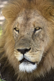 Male africam lion head Photographic Print by David Hosking