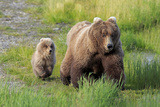 Grizzly Bear (Ursus arctos horribilis) adult female with cub, foraging at edge of water, Katmai Photographic Print by Jurgen & Christine Sohns