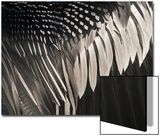 Anhinga (Anhinga anhinga) adult male, close-up of wing feathers, Anhinga Trail, Everglades Posters by David Tipling