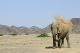 African Elephant (Loxodonta africana) adult, dusting, standing on arid desert plain Photographic Print by Shem Compion