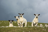 Domestic Sheep, four mule lambs, standing in upland pasture, Cumbria Photographic Print by Wayne Hutchinson