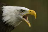Bald Eagle (Haliaeetus leucocephalus) adult, calling, close-up of head, captive Photographic Print by Simon Litten