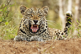 African Leopard (Panthera pardus pardus) adult male, snarling, Timbavati Game Reserve Photographic Print by Ignacio Yufera