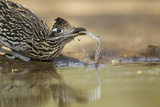 Greater Roadrunner (Geococcyx californianus) adult, drinking from pool, South Texas, USA Photographic Print by Bill Coster