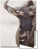 Blue Wildebeest (Connochaetus taurinus) adult, close-up of head, Kalahari, South Africa Posters av Andrew Forsyth