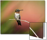 Ruby-throated Hummingbird (Archilochus colubris) adult male, perched on twig, Florida, USA Print by Edward Myles