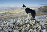 Domestic Dog, Border Collie, working sheepdog, adult Photographic Print by Wayne Hutchinson
