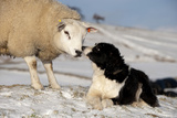 Domestic Dog, Border Collie sheepdog, adult, nose to nose with Texel ram in snow Photographic Print by Wayne Hutchinson