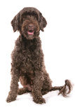 Domestic Dog, Portuguese Water Dog, adult, sitting Photographic Print by Chris Brignell