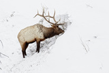 American Elk (Cervus canadensis) adult male, feeding in area cleared of snow, Yellowstone , Wyoming Photographic Print by Ignacio Yufera