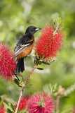Orchard Oriole (Icterus spurius) adult male, perched on flowering bottlebrush, USA Photographic Print by S & D & K Maslowski