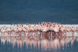 Lesser Flamingo (Phoenicopterus minor) adults, Great Rift Valley Photographic Print by Shem Compion