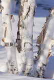 Paper Birch (Betula papyrifera) close-up of coppiced and re-grown trunks in snow, december Photographic Print by Bob Gibbons