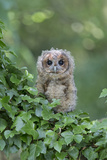 Tawny Owl (Strix aluco) juvenile, perched amongst ivy, August (captive) Photographic Print by Paul Sawer