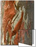 Krystyna Szulecka - Rainbow Eucalyptus (Eucalyptus deglupta) close-up of bark, Northern Territory Umělecké plakáty
