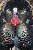 Wild Turkey (Meleagris gallopavo) adult male, displaying, Nebraska, USA Photographic Print by David Tipling